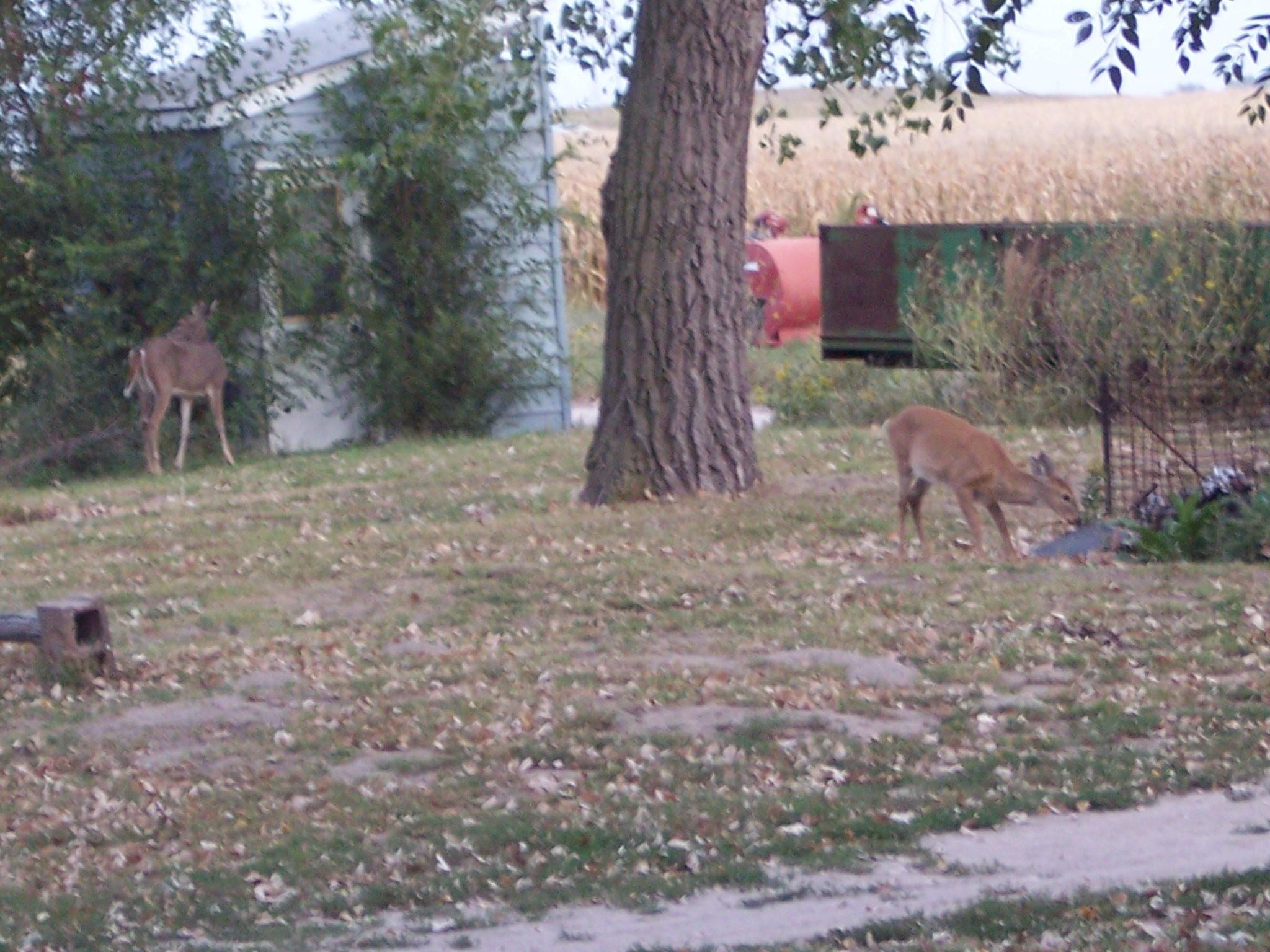 Two deer in the yard