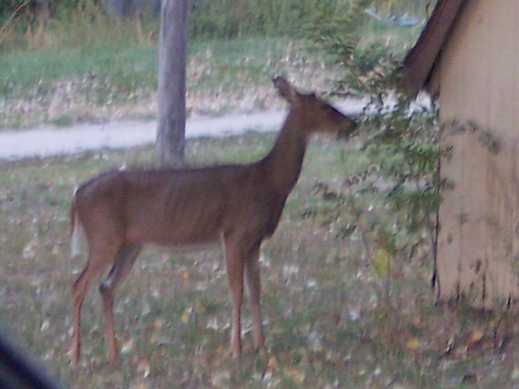 Deer eating a tree