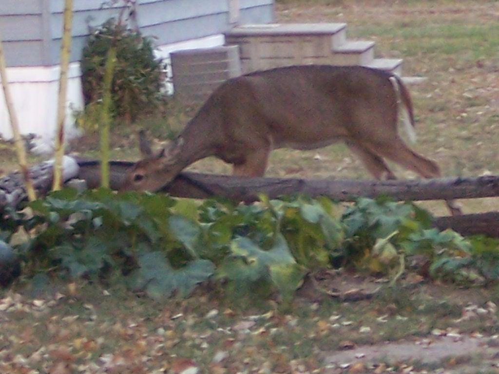Deer in the pumpkins